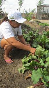 Agric. Sra. Maria Elzilene colheita beterraba Assent. Nova Morada Caraúbas - RN